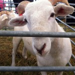 Essex Young Farmers Annual Show – Leica M9 vs iPhone 4   - Your Hometown by Roy Strutt