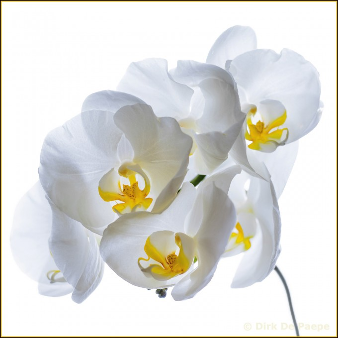 10WhiteOrchid