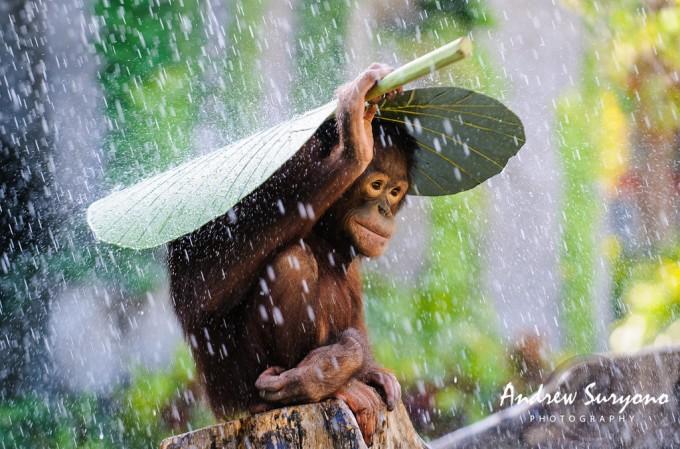 andrew-suryono-orangutan-in-the-rain-1024px