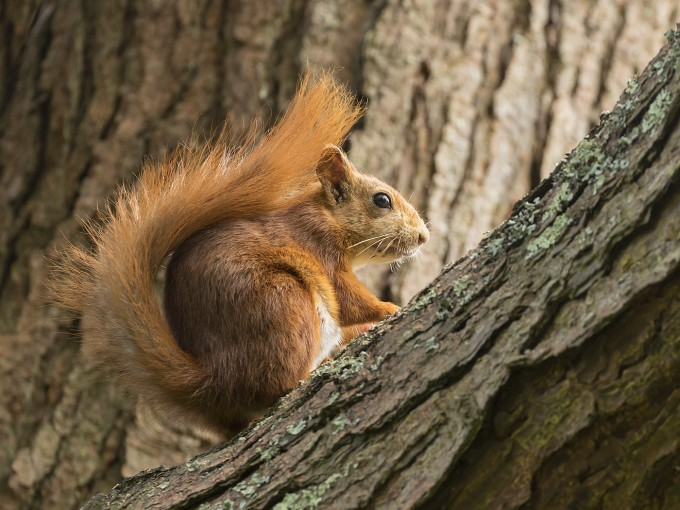Alert Red Squirrel