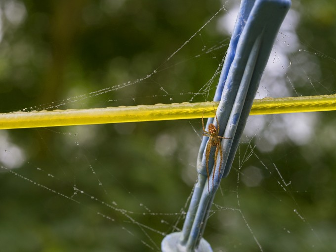 spider on clothes peg