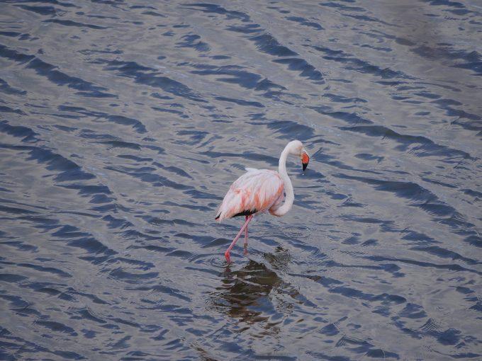 Flamingo400f6.3
