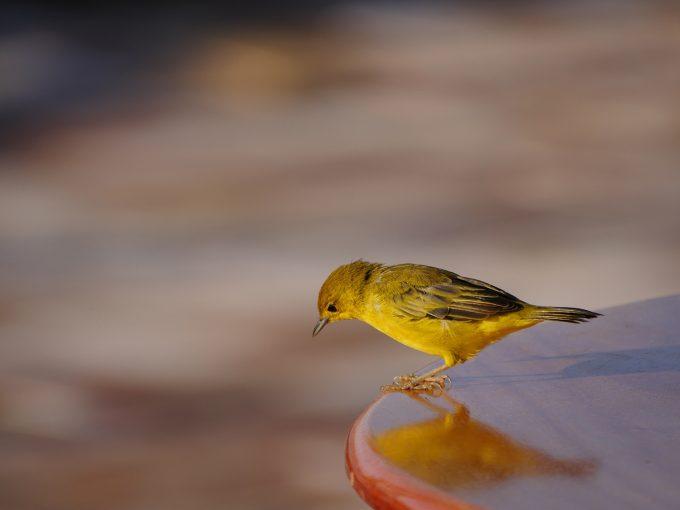 GoldenWarbler400f6.3