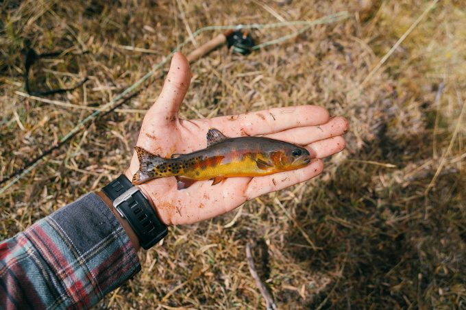davegoldentrout